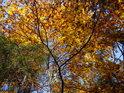 Podzimní hra barev smrku a buku na pravém břehu Divoké Orlice v dolní polovině chráněného území Zemská brána.