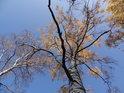 Podzimní pohled do korun stromů na levém břehu Divoké Orlice v obci Mostowice.