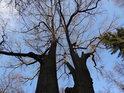 Pohled do koruny dubového dvojčete na pravém břehu Divoké Orlice pod Liticemi nad Orlicí.